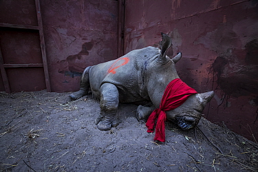 Young White rhinoceros (Ceratotherium simum) in a reinforced steel boma, blindfolded and partially drugged after a long journey from South Africa, before being released into the wild in Botswana. Sept...