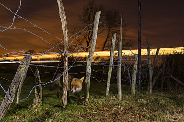 Red fox (Vulpes vulpes) adult with train in background, Kent, UK. March. Highly commended in the Nature Photographer of the Year Awards 2018. Taken with remote camera.