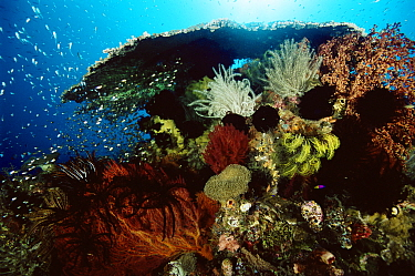 Coral reef with table coral, sea fans, crinoid feather star and school of Golden Sweepers (Parapriacanthus ransonneti) Indo-pacific