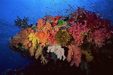 Anthias fish swimming around a rocky outcrop covered in multi-colored soft corals. Primarily Slender Anthias (Luzonichthys waitei) and Lyretail Anthias (Pseudanthias squamipinnis)   Namena Island, F...