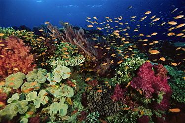 Coral reef with coral diversity and school of Anthias fish. Primarily Lyretail Anthias (Pseudanthias squamipinnis) Vatu-i-ra, Fiji. Oct 03.