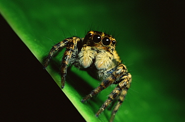 Jumping spider (Salticidae) in Sierra Madre National Park, Luzon, Philippines. September