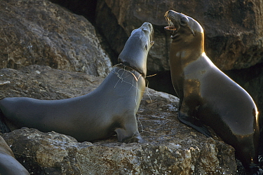 Californian sealions (Zalophus californianus), one with fishing wire caught round its neck. Monterey Bay, California.