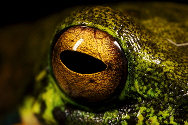 Tree frog, close-up of eye, Crater Mountain Wildlife Management Area, Eastern Highlands Province, Papua New Guinea