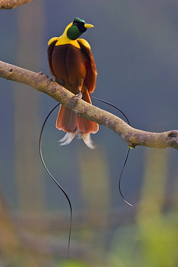 Red Bird of Paradise (Paradisaea rubra) adult male at lek display site in the top of a canopy tree. Batanta Island, Papua, Indonesia.