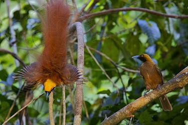 Goldie's Bird of Paradise (Paradisaea decora) male displaying to female at lek, Fergusson Island, Milne Bay Province, Papua New Guinea. Near-threatened.