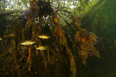 Snappers {Lutjanidae} amongst the roots of Red Mangrove trees {Rhizophora mangle} in the Belize Cays, Tunicate Cove, Belize.