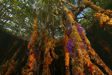 Sponges, tunicates and other invertebrates amongst the roots of Red Mangrove trees {Rhizophora mangle} in the Belize Cays, Tunicate Cove, Belize.