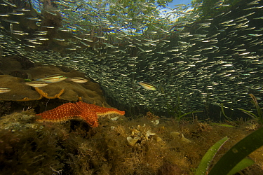 Rich marine life including Silversides fish and immature parrotfish amongst underwater roots of  Red mangrove trees {Rhizophora mangle} on offshore mangrove island, Tunicate Cove, Belize.