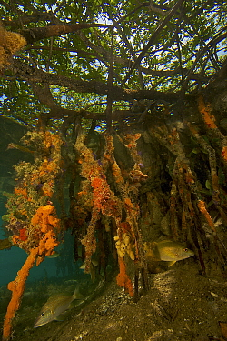 Rich marine life including tunicates, sponges and fish cover the underwater portions of Red mangrove roots {Rhizophora mangle} on offshore mangrove island, Tunicate Cove, Belize.