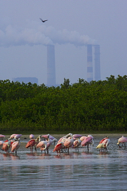 A flock of adult and juvenile Roseate Spoonbill (Platalea ajaja) rest, preen and feed on the shore of a mangrove island with chimneys of a large electric power plant in the background, Alafia Bank Bir...