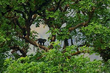 Bioko red-eared guenon (Cercopithecus erythrotis erythrotis) in canopy of large rainforest tree, Bioko Island, Equatorial Guinea, Endangered Species, January