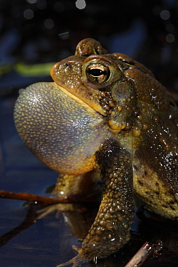 American toad (Bufo americanus) male calling to attract female, New York, USA