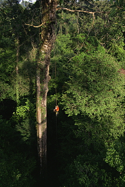 Orangutan researcher, Cheryl Knott, climbing rope into giant canopy tree with stranger fig tree roots growing down its side, Gunung Palung National Park, Borneo, West Kalimantan, Indonesia.