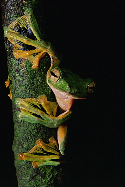 Wallace's flying frog (Rhacophorus nigropalmatus) on tree trunk in lowland rainforest showing webbed feet, Danum Valley Conservation Area, Sabah, Borneo, Malaysia