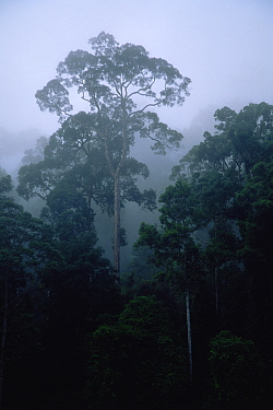 Lowland dipterocarp rainforest and river in Danum Valley Conservation Area, Sabah, Borneo, Malaysia,