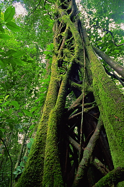 Strangler Fig (Ficus sp.) that has killed its host tree long ago. The host has rotted away, leaving a hollow center. Lowland rainforest in Borneo. Gunung Palung National Park, Indonesia.