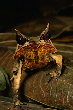 Head portrait of Bornean Horned Frog (Megophrys nasuta) among the leaf litter in the lowland rainforest of Borneo. Danum Valley Conservation Area, Sabah, Malaysia
