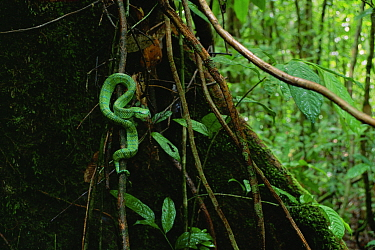 Wagler's / Temple pit viper (Tropidolaemus wagleri) in lowland rainforest, Gunung Palung National Park, Borneo, West Kalimantan, Indonesia