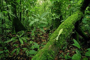 Praying mantis (Mantodea) green leaf mimic type walking along a mossy branch in lowland rainforest, Gunung Palung National Park, Borneo, West Kalimantan, Indonesia