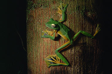 Wallace's flying frog (Rhacophorus nigropalmatus) on a tree trunk in the lowland rainforest, Danum Valley Conservation Area, Sabah, Borneo, Malaysia.