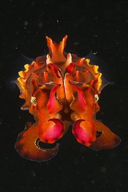 Pfeffer's Flamboyant Cuttlefish (Metasepia pfefferi) West Papua, Indonesia, April 2007