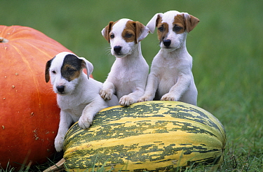 Dog, Jack Russell Terrier, three puppies with pumpkin