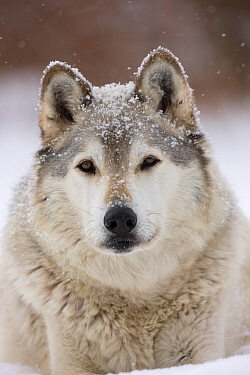 Grey Wolf (Canis lupus) head portrait of male, in snow, Captive