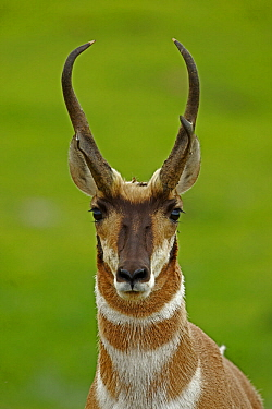 Pronghorn Antelope (Antilocapra americana) head portrait, South Dakota, USA