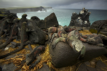 Marine Iguanas (Amblyrhynchus cristatus) on the south coast of Espanola Island, Galapagos, Vulnerable species