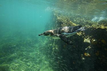 Galapagos penguin (Spheniscus mendiculus) swimming off the coast of Bartolomew Island, Galapagos, Endangered species