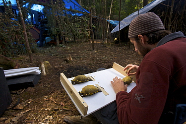 Ornithologist Brett Benz prepares a Huon Macgregor's Gardener Bowerbird (Amblyornis macgregoriae) museum specimen. At the Araurong field camp in the Sarawaget Range Indonesia, Dec 2006