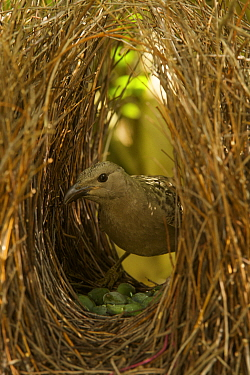 Great Bowerbird (Chlamydera nuchalis) male in his bower. The center of the bower avenue is decorated with green fruits. Located on the campus of James Cook University, Townsville, Queensland, Australi...