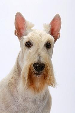 Domestic dog, Scottish Terrier / Aberdeen Terrier, studio portrait