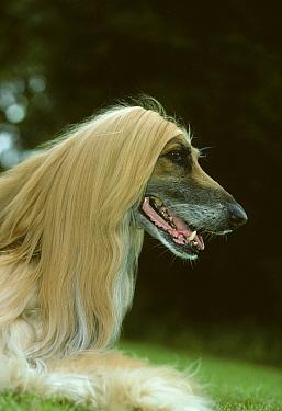 Domestic dog, Afghan Hound / Tazy / Baluchi Hound, head portrait