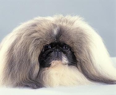 Domestic dog, Pekingese, studio portrait
