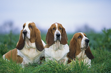 Domestic dog, three Basset Hounds outdoors