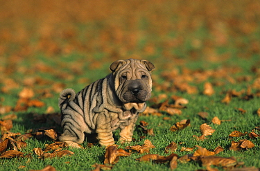 Domestic dog, Shar Pei / Chinese Fighting Dog, puppy urinating