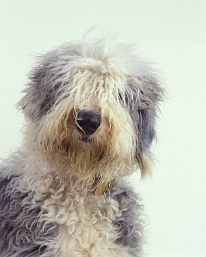 Domestic dog, Old English Sheepdog / Bobtail, studio portrait