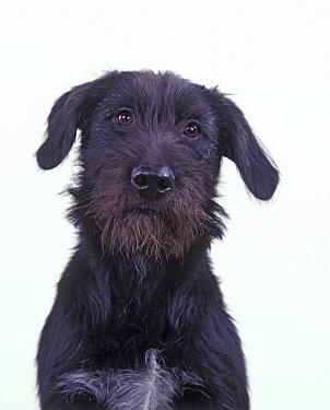Domestic dog, Mongrel, studio portrait