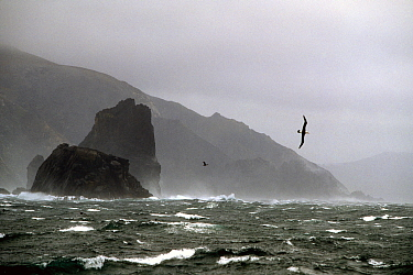 Black browed albatross (Thalassarche melanophrys) flying in 60 knot wind at Cape Horn, Chile.