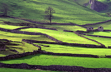 Fields seperated by flint drystone walls, and punctuated by stone barns. Castleton, Peak District National Park, Derbyshire, England.