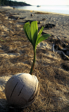 Coconut (Cocos nucifera) sapling emerging from shell on Ko Pha Ngan island off Surithani, Thailand, South East Asia.