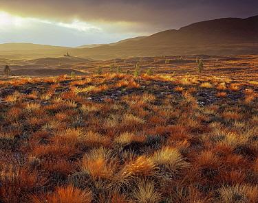 Autumnal grasses on Dava Moor, Lochindorb, near Carrbridge, Scotland.
