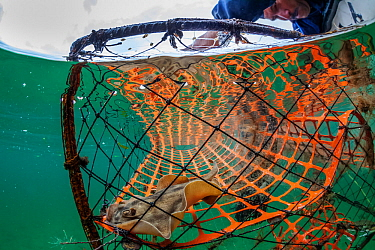 Crab trap with Cortez Stingray (Urobatis maculatus), Magdalena Bay, Baja California, Mexico, February
