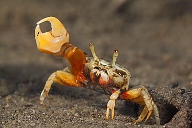 Princely fiddler crab (Uca princeps), Bahia Magdalena, Baja California Peninsula, Mexico, June