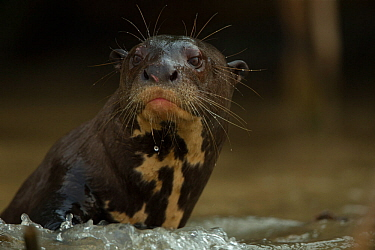 Giant otter (Pteronura brasiliensis) lookign out from the water, n the Rio Cuiaba, Brazil