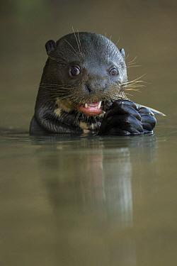 Gant otter (Pteronura brasiliensis) feeding on Catfish (Loricariidae) in the Rio Cuiaba, Brazil