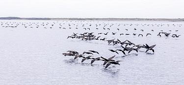 Double-crested cormorant (Phalacrocorax auritus) flying, Magdalena Bay, Baja California, Mexico, February