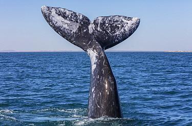 Grey whale (Eschrichtius robustus) tail, San Ignacio Lagoon, El Vizcaino Biosphere Reserve, Baja California, Mexico, March